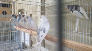 Budgies Breeder Pair/ Young ones