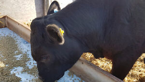 Black angus yearling + bulls for sale