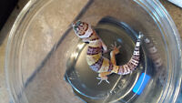 Leopard Gecko Baby - High Yellow - Lavender with pos. Het.