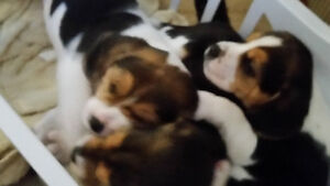 Beagle Rabbit Hounds for Sale