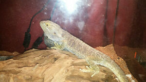 bearded dragon adult with tank
