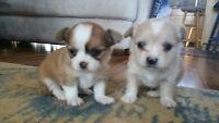 Cutest Lap Puppies