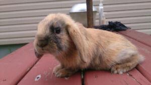 Beaux lapins béliers hollandais à vendre