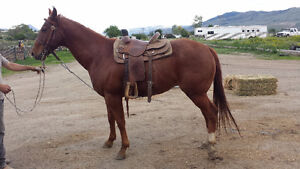 8 Year Old Gelding for Sale