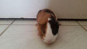 GUINEA PIGS NEED A HOME TODAY!!!