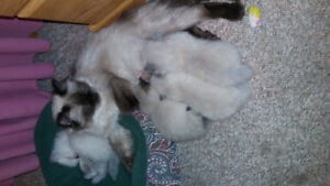 For Sale : Himalayan kittens