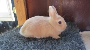 Fawn coloured Netherland dwarf buck for sale - 8 weeks old