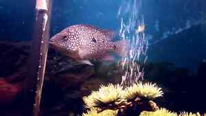 Fish for Sale - Green  Texas  Cichlids  /  Large Pleco