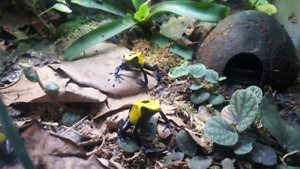 Dart frogs, breeding pairs!