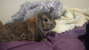 Male Lop Bunny with Cage