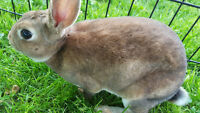 Very Pretty and Soft Male Rex Furred Rabbits