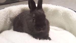Baby migniature bunny, lapin migniature