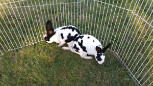 Broken black male mini rex bunnies