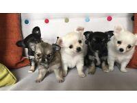 KC LH Chihuahua Pups