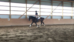 Part Boarder Wanted - Gorgeous CSH Mare