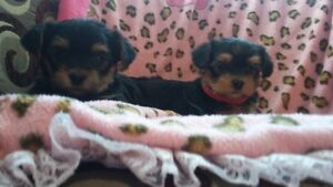 CHIOTS YORKSHIRE PUPPYS  FEMALE
