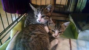 Free 10 week old tabby female kittens Steinbach area