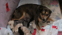 Catahoulla Borer Collie Cross Pup's for sale