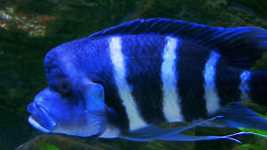Full grown Frontosa African Cichlid