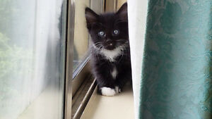 Tuxedo cat free to suitable home