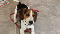 BEAGLE PUPPY MALE LOVELY & ENERGETIC