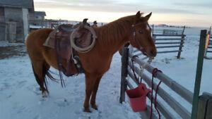 2 Broke Horses for Sale