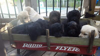 F1b Labradoodle pups... Ready to go in 3 weeks!!