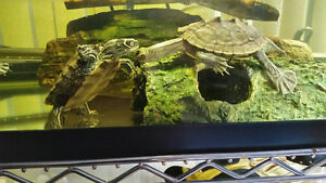 Map Turtles/ Zilla Complete Aquarium Setup Delivery Available!