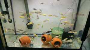 African Cichlid fry for sale