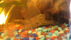 Large Pleco for trade