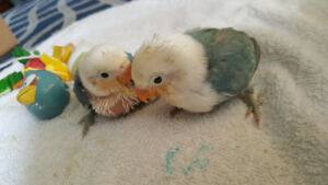 HAND FED / HAND RAISED BABY LOVE FISHER LOVE BIRDS FOR SALE$85