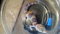 Leopard Gecko Baby -Lavender/High Yellow