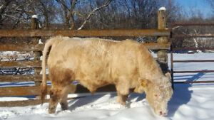 FULL FRENCH CHAROLAIS BULLS