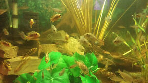 african cichlids for sale differnt kinds and sizes 2.50 and up Windsor Region Ontario image 3