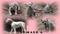 ~Olde English Bulldogge Puppies~ Old English Bulldog Pups