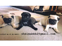 Beautiful pug puppies ready for go
