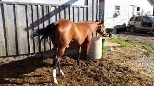 9 yr old QH Mare - NOT PAPERED