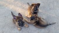 Working line GSD female puppies for sale