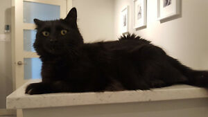 Lost - Black Male Cat Martinon, South Bay, Grand Bay