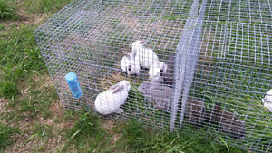 Female Californian rabbits for sale!!
