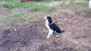 Border Collie Male Needing to be Rehomed Strathcona County Edmonton Area image 7
