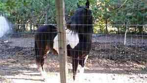 Black and white paint horse for sale Peterborough Peterborough Area image 3