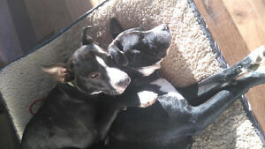 (On hold) Bella and Chanelle are looking for a loving home Gatineau Ottawa / Gatineau Area image 4