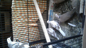 Selling 3 sets of doves and a set of pigeons