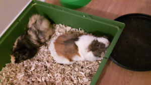 Free 2 Male Gineau Pigs with Accessories