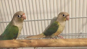 Couple Conure Pineapple+ Turquoise Pineapple SPECIAL