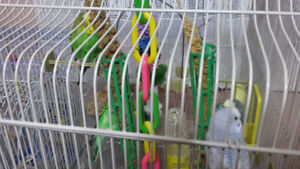 Budgies for Sale in Oshawa