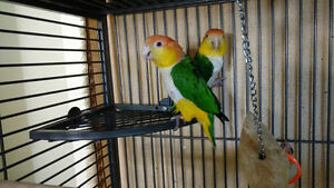 Proven Breeding Pair White Bellied Caiques