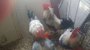 3 roosters
