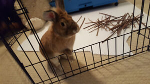 FREE LIONHEAD BUNNY LOOKING TO BE REHOMED